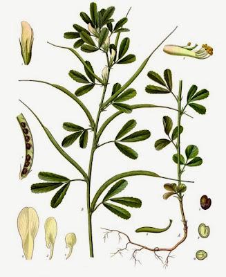 http://www.google.pl/imgres?imgurl=http://upload.wikimedia.org/wikipedia/commons/7/79/Trigonella_foenum-graecum_-_K%25C3%25B6hler%25E2%2580%2593s_Medizinal-Pflanzen-273.jpg&imgrefurl=http://pl.wikipedia.org/wiki/Kozieradka_pospolita&h=249&w=203&sz=1&tbnid=jkfKo2IqOhsd1M:&tbnh=160&tbnw=130&zoom=1&usg=__RFgzoJwRTfh90qyL1UYyjcXG5TM=&docid=7TYNbKJT3h-dFM&itg=1&sa=X&ei=R4e0UsKPCsSq7QaR54DQBQ&ved=0CJQBEPwdMAo