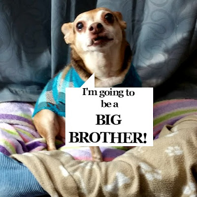 Scooby,chihuahua in blue sweater announcing he will be a big brother