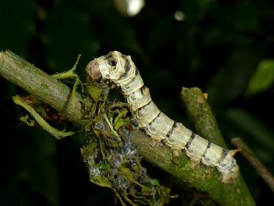 Bombyx mori caterpillar