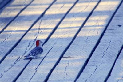 The woodpecker @ Hendrie Park, RBG, Burlington, ON :: All Pretty Things