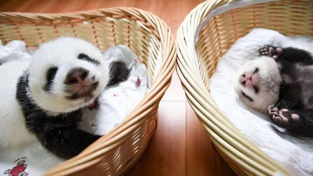 Children panda #8