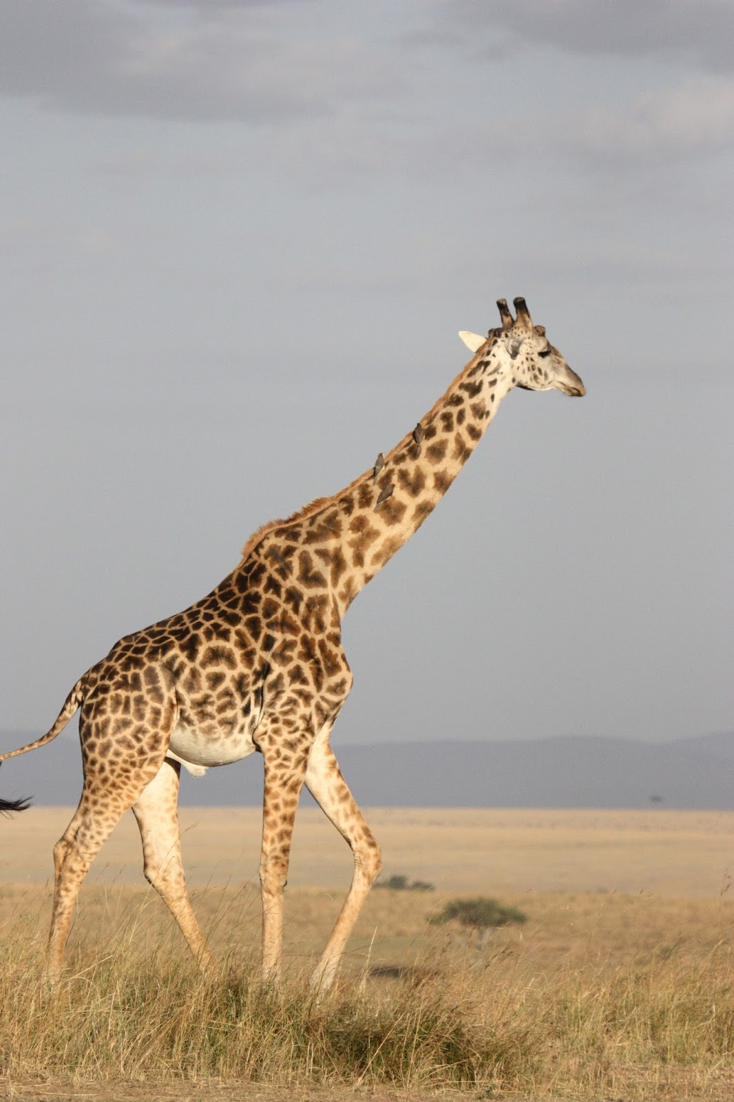 A picture of the tallest animal-The giraffe.