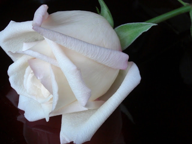 White Rose Beautiful HD Wallpapers Free Download