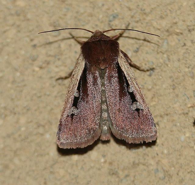 Violettbraune Erdeule, Ochropleura plecta, Hellrandige Erdeule