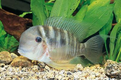 Balzani 12cm ikan hias air tawar