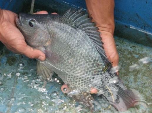 Kolam Ikan Nila Terpal Cara Mudah Memanfaatkan Halaman Sempit