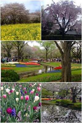 Showa Memorial Park sakura