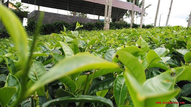 wisata kebun teh kabawetan kepahiang
