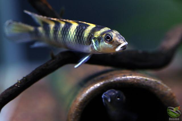 Nanochromis transvestitus / from kongo
