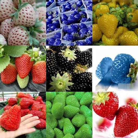 Menanam Strawberry Di Pot Polibag