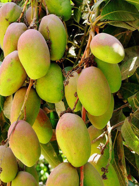 Mangoes (Mangifera indica)