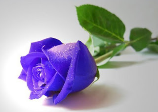 gambar bunga mawar indah 20