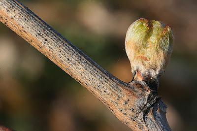 blog vin Beaux-vins comment les vignerons luttent contre le froid vigne bourgeon