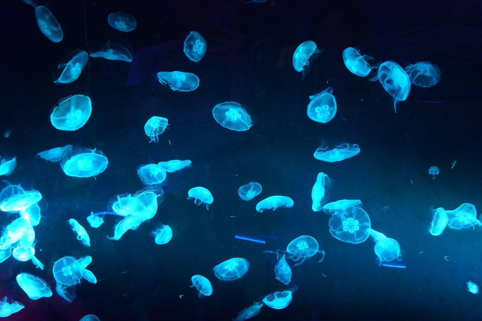 blue coloured jellyfish swimming