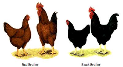Ayam Broiler Majukan Peternakan Indonesia Bersama Ilmuhewan.com