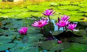 9 manfaat bunga teratai bagi kesehatan tubuh