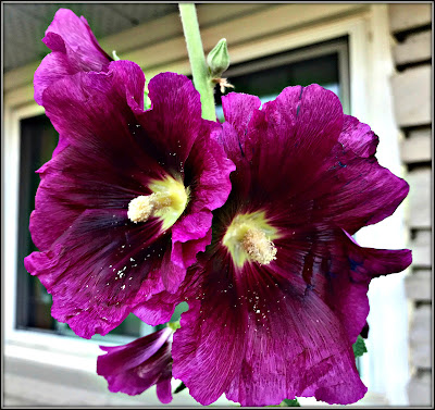 July 11, 2018 - Being transported back to my childhood by a hollyhock bloom