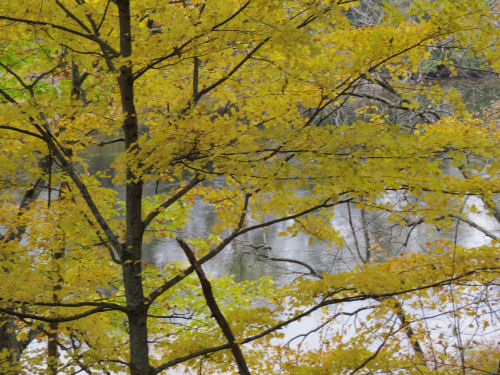 Muskegon River with yellow tree