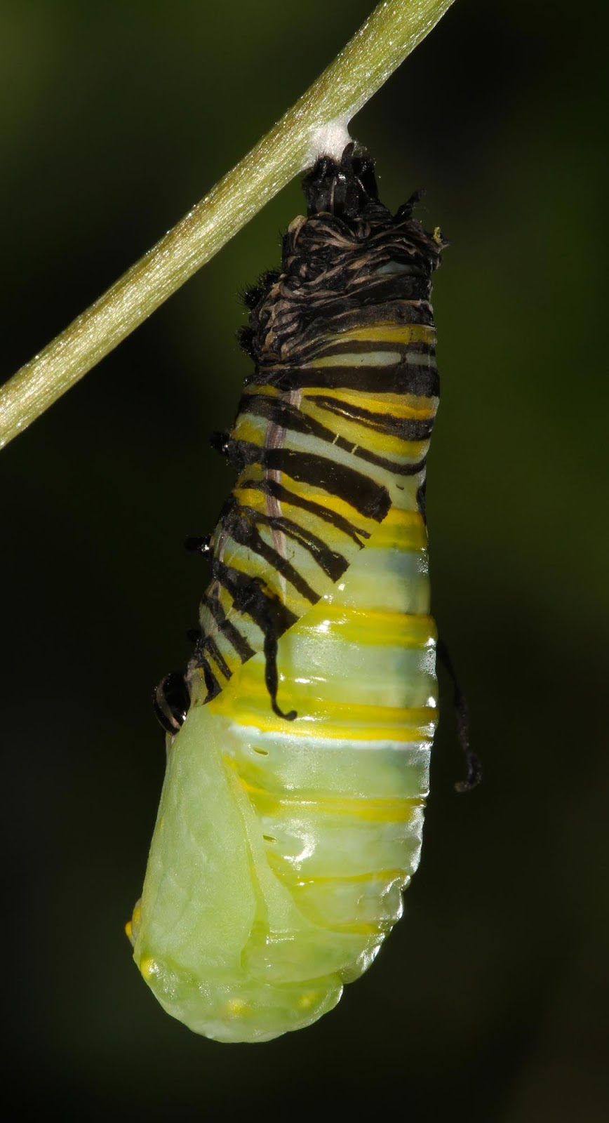 Little Australia: Stick Cocoon Creature, Banksia Man, and ...