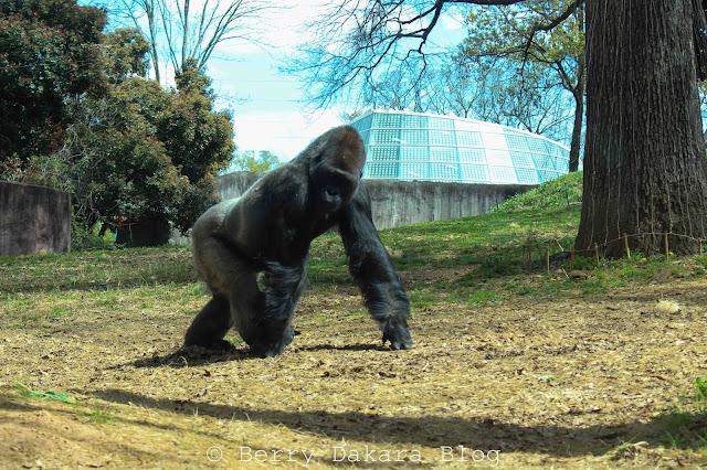 berry dakara, atlanta, zoo, zoo atlanta, travel atlanta, discover georgia, atlanta tourist, gorilla