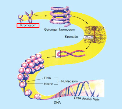 Kromosom, Pengertin Kromosom, Jenis-jenis Kromosom, Struktur Kromosom, Susunan Kromosom, Bentuk Kromosom, Jumlah Kromosom, Gambar Kromosom, Penjelasan Kromosom, Artikel tentang Kromosom.