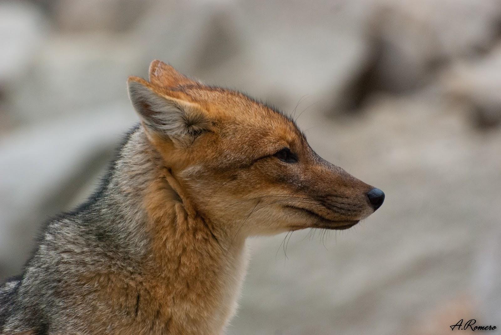 Estos zorros, adaptados a detectar carroñas y pequeñas presas como aves y micromamíferos, ocupan el papel de mesodepredadores en Sudamérica, donde los carnívoros dominantes son los felinos.