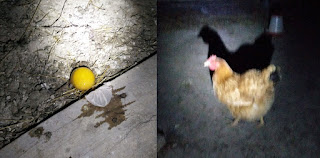 Ginger and the egg she laid in the doorway