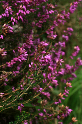 heather plants