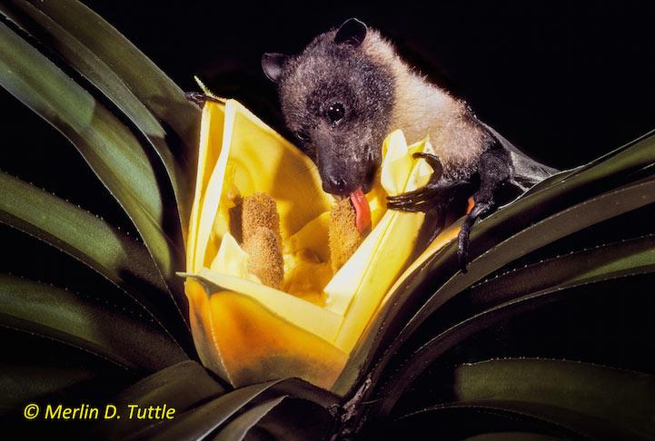 Adorables retratos de murciélagos cubiertos de polen por Merlin Tuttle