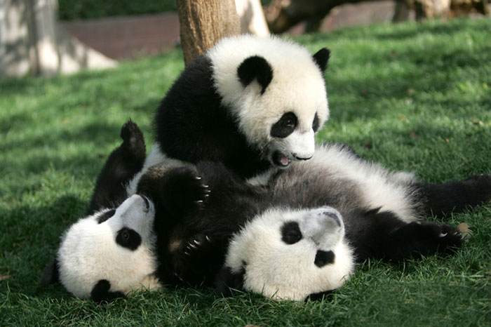 """Ο """"παιδικός σταθμός"""" για τα Panda υπάρχει και είναι το πιο αξιολάτρευτο μέρος στη γη!_omorfos-kosmos.gr"""