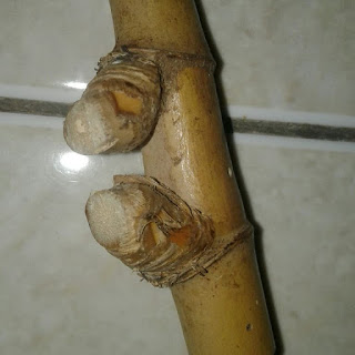 gambar bambu petuk