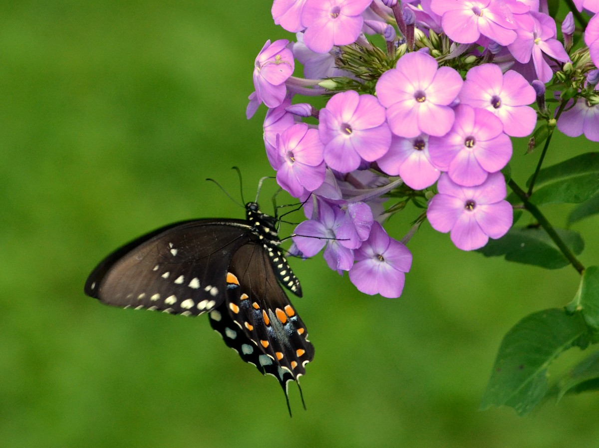 Swallowtail Humming Bird Coloring Page