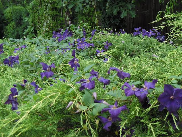 fioletowe kwiaty powojnika
