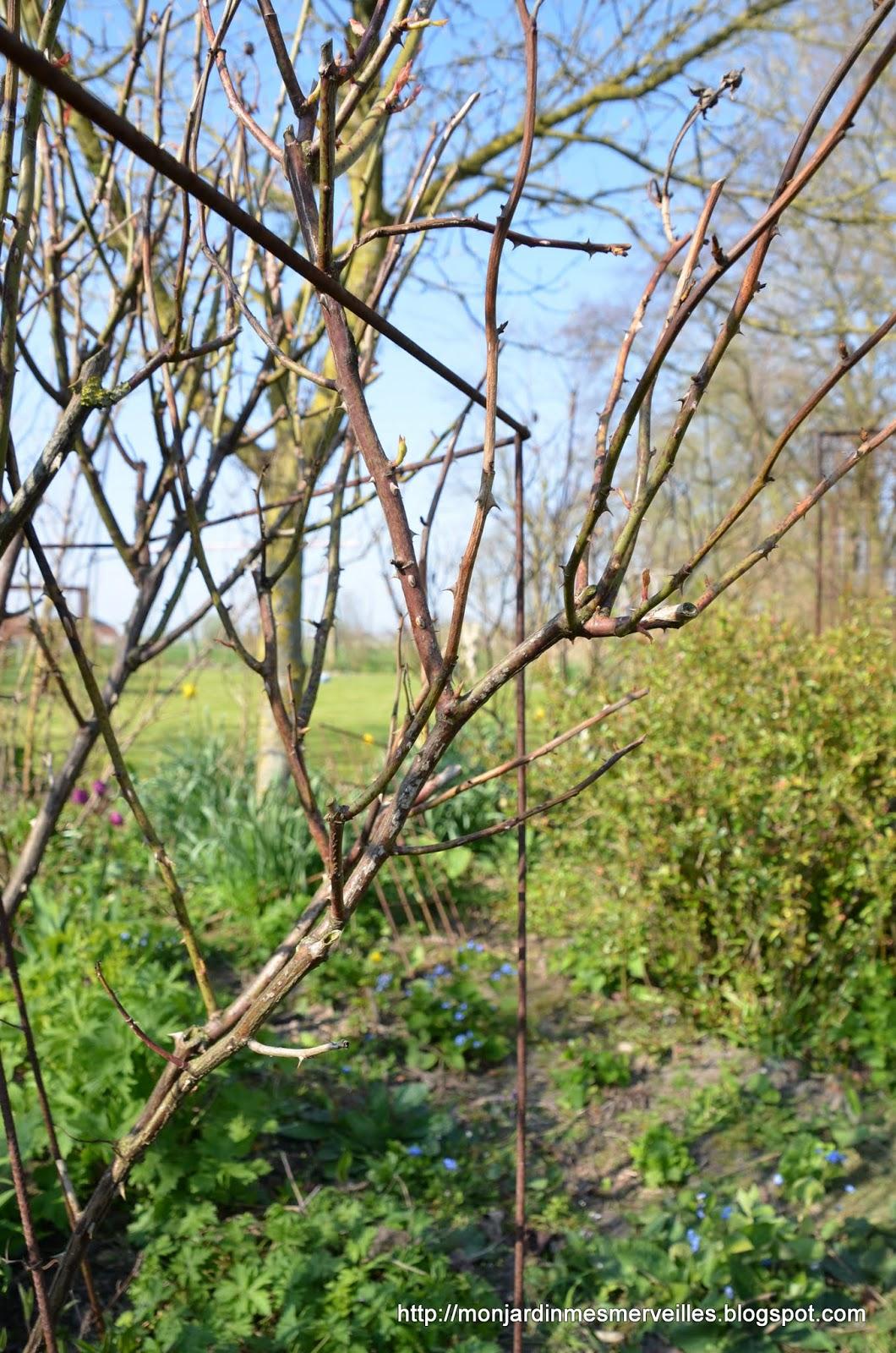 tailler les rosiers en avril
