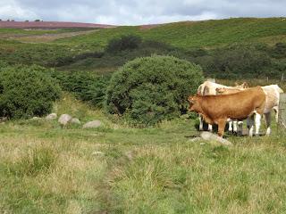 Isle of Arran tehenei