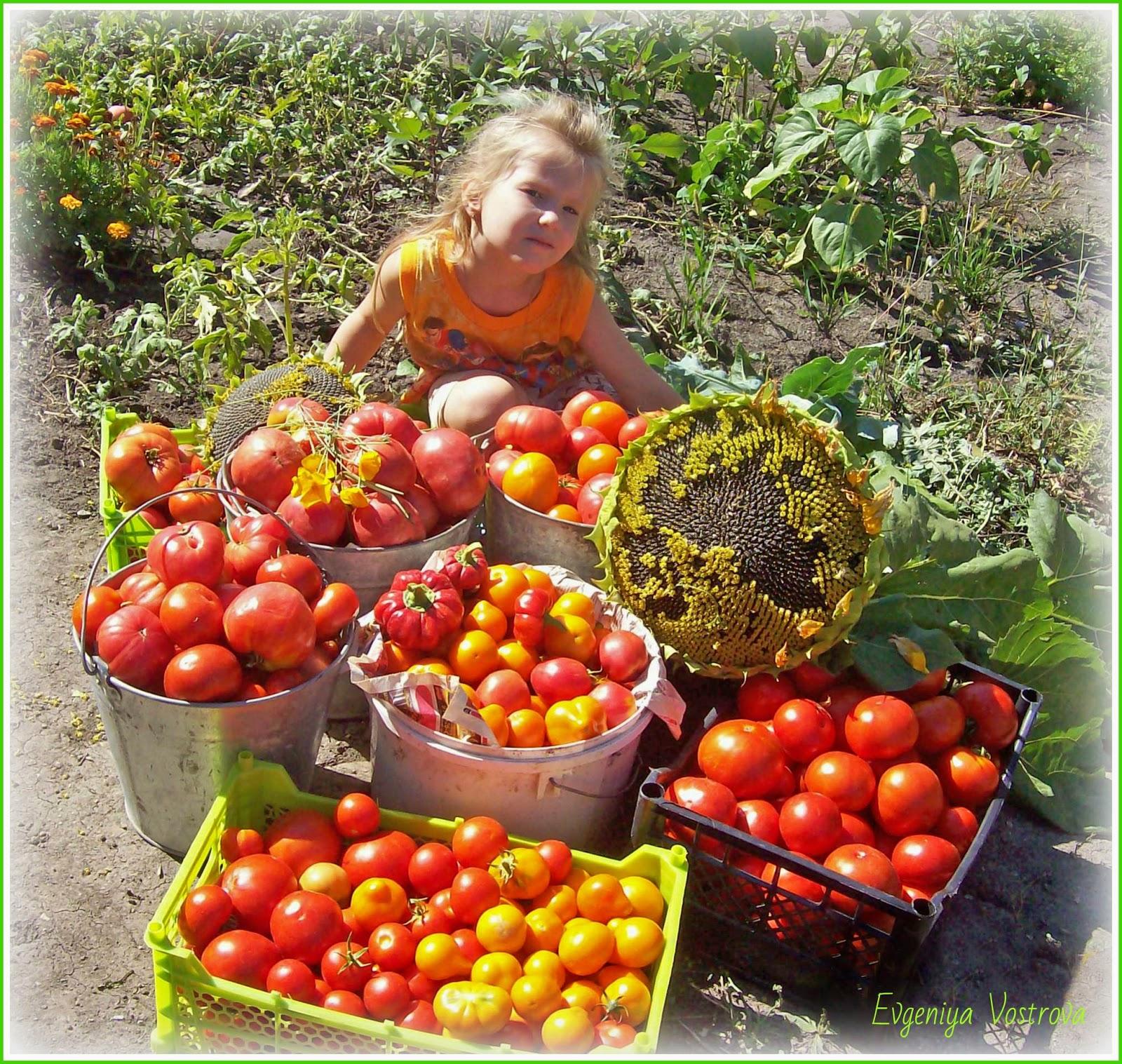урожай помидоры 2012 года