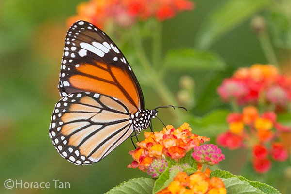 Butterfly Discussion Forums Life History Of The Common