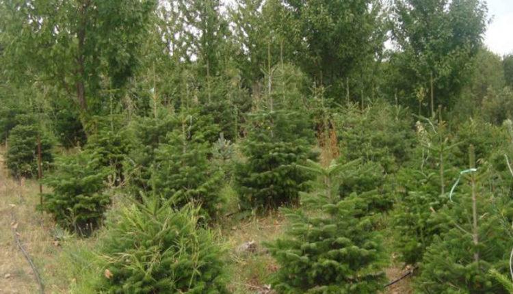 Σε τι τιμές κυμαίνονται φέτος τα Χριστουγεννιάτικα δέντρα