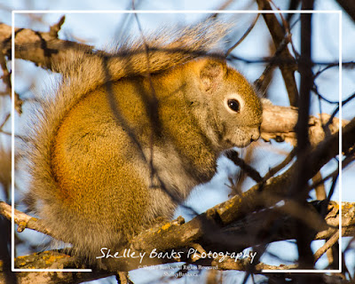 Saskatchewan Squirrel. ©Shelley Banks, 2016. All Rights Reserved. (ShelleyBanks.ca)