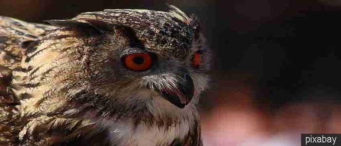 Lemak Burung Hantu Untuk Mempertajam Penglihatan