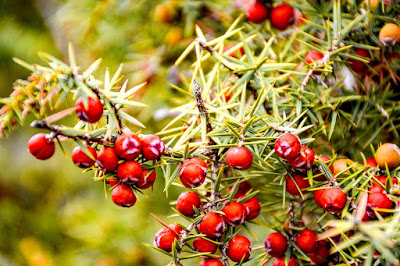 herbal, juniper, juniper berry, kandungan juniper, manfaat juniper, Manfaat Tanaman Herbal,