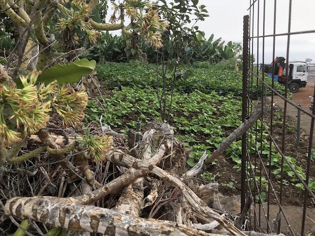 Süßkartoffelanbau im Garten