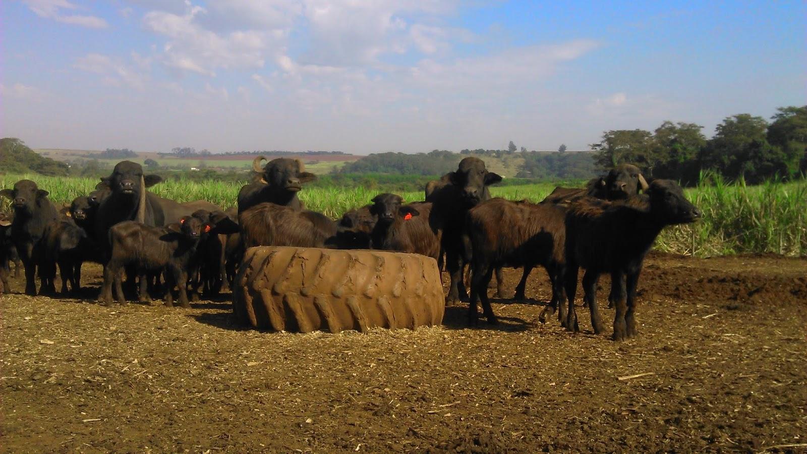 Rebanho de Búfalos no  Brasil | Bubalinos