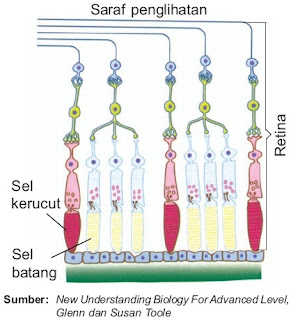 Sel kerucut dan sel batang pada mata