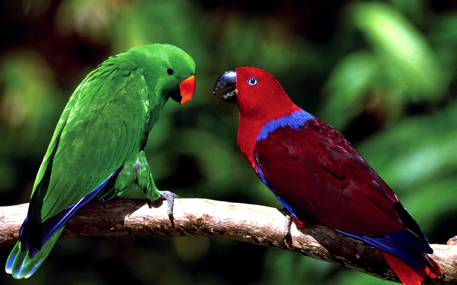 Cute Couple Fighting Wallpaper Parrot Birds Wallpapers Entertainment Only