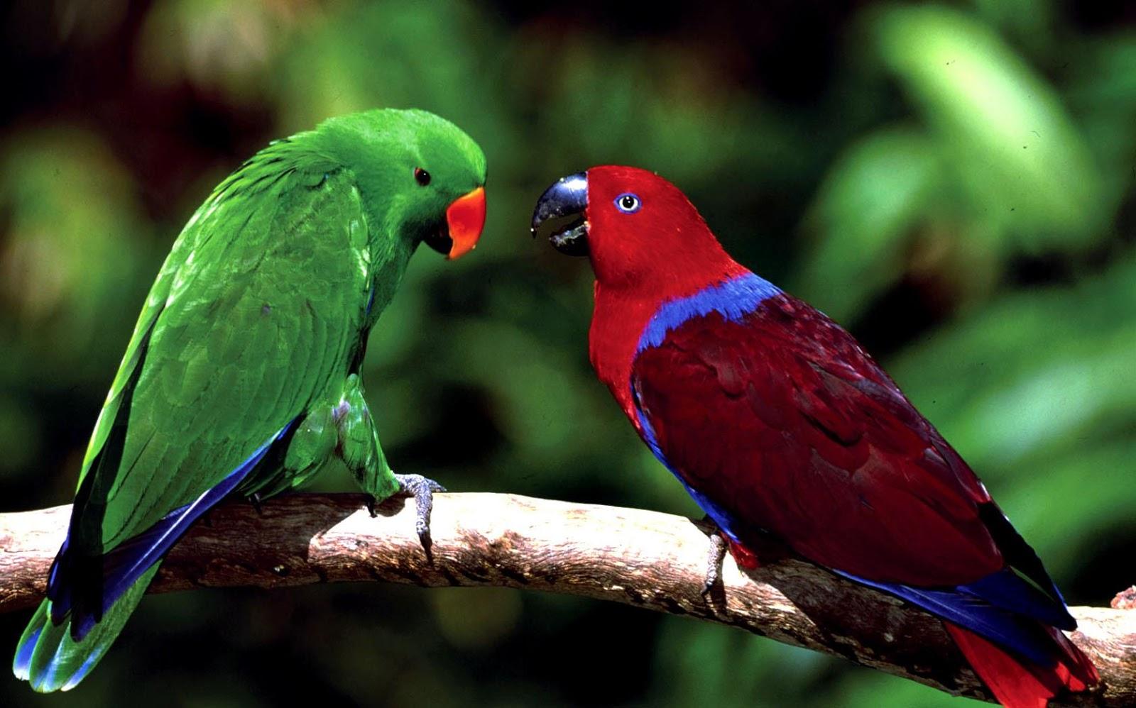 parrots wallpaper bird - photo #23