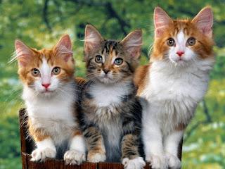 Fond d'écran chaton hd gratuit