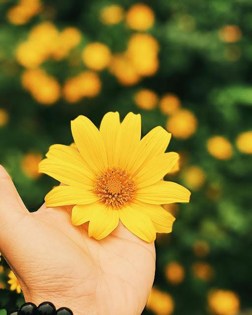 Hình ảnh bông hoa, cánh đồng hoa Dã Quỳ đẹp ngỡ ngàng