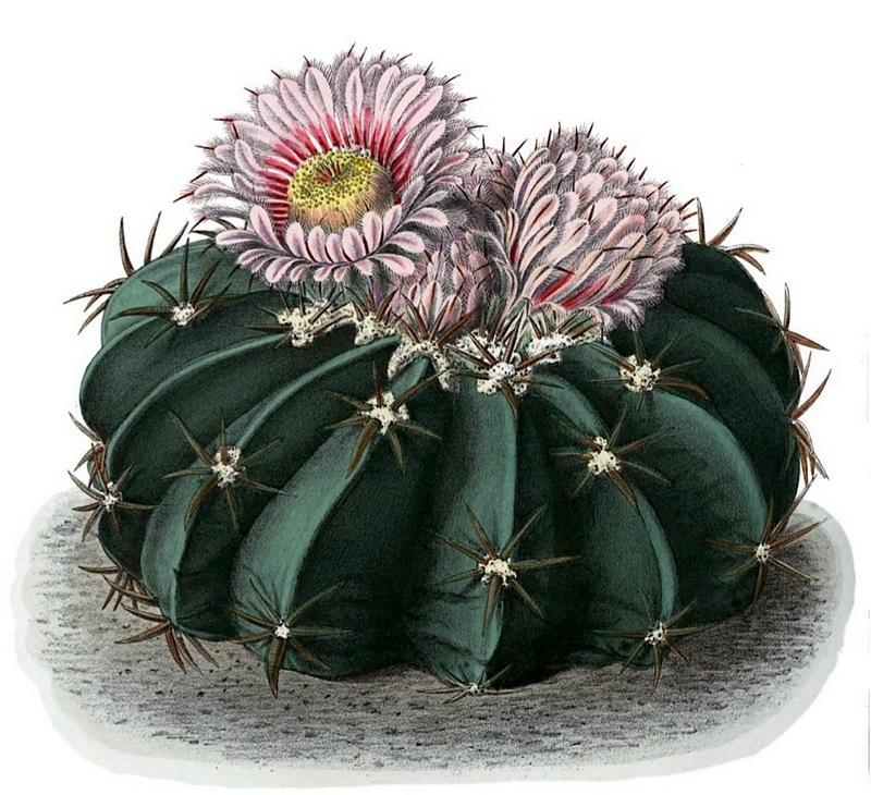 Echinocactus_texensis_BlKakteen