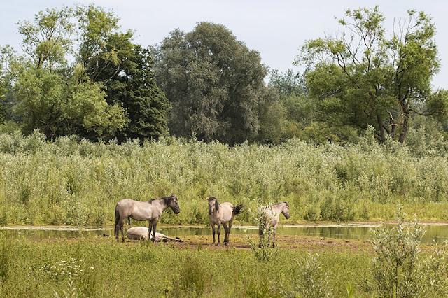 Konik Horses - 30 Days Wild - Day 2